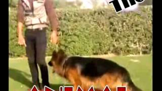 تدريب كلب جيرمن شيبرد فى مصر
