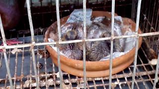 Profitable Pigeon Farm, 27.9 % Profit per month !!!!