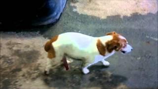 LARGE COCK MAKES DOG TIPTOE