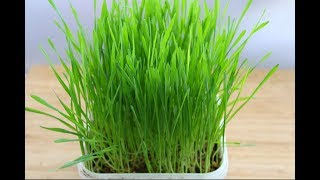 Wheatgrass - How To Grow Organic Wheatgrass At Home Without Soil & With Soil - Skinny Recipes