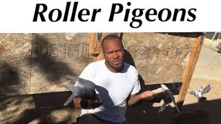 Introducing My Roller Pigeons | In To Deep Roller Pigeons
