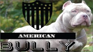 American Bully raza, características, cuidados y ejemplares.