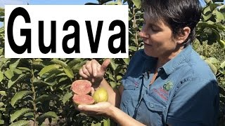Taking Cuttings of Guava Fruit Trees to form roots - Hawaiian Guava Pink Supreme Plant