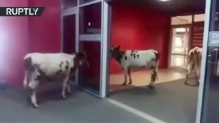 زبائن مركز تجاري يرتبكون عند رؤية أبقار فيه
