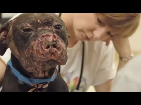 The Face of Dogfighting One Dog s Incredible Journey