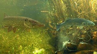 Fishing: pike attack seabass deadbait underwater. Рыбалка щука атакует. Pesca de lucio.