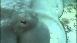 Super stealth octopus