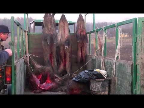 Polowanie na dziki z Łajkami. Collective boar hunting with dogs Poland Krasnystaw