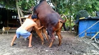 Matings Cows ★ Life of Cows✔ P7