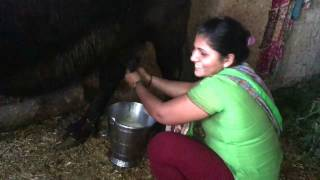 milking  from buffalo by hand in India young girl live funny video