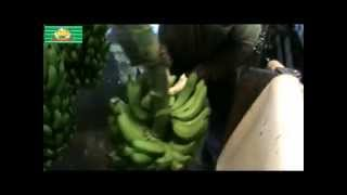 Journey with tropicana banana qld Australia.wmv