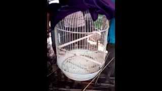 Burung Cucak Kombo Gacor Download Mp3 Mp4 3GP HD Video