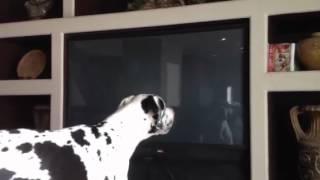 Big dog great Dane barking at self
