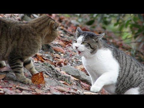 Cat Fight HD 1080p