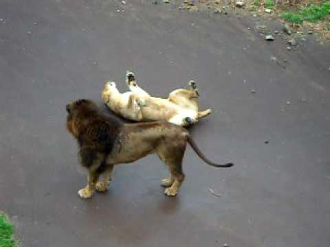 Black Lions Mating