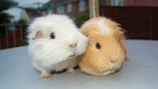Guinea Pigs - A Funny And Cute Guinea Pig Videos Compilation || NEW HD