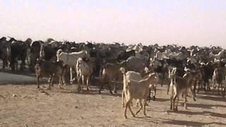 Penggembala kambing sudan