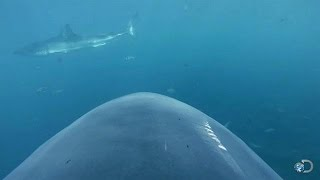 Camera Attached to Shark's Fin | Lair of the Mega Shark