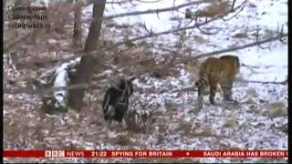 Tiger & Goat (Amur and Timur) - BBC World News - 3rd January 2016