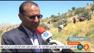 Iran Asafoetida harvest, Tang-Sorkh village, Boyer-Ahmad برداشت آنغوزه روستاي تنگ سرخ بويراحمد