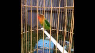 Suara Ocehan Burung Labet ( Love Bird ) Jantan SI Messi