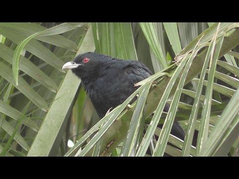 Eastern Koel Calling.  (Eudynamys orientalis) HD Video Clip 1 / 2
