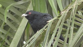 Eastern Koel Calling.  (Eudynamys orientalis) HD Video Clip 1 / 2