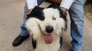 كلب البوردر كولي اذكى كلب في العالم مع جمال العمواسي