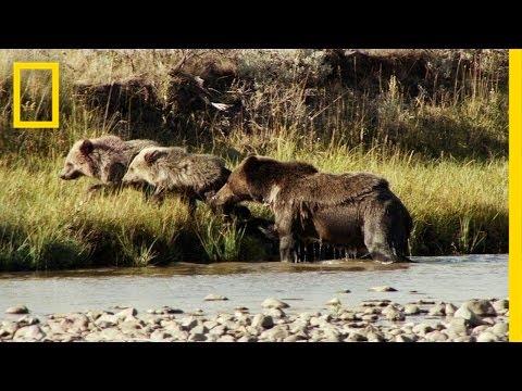 Xxx Mp4 One Tough Mama Bear America S National Parks 3gp Sex