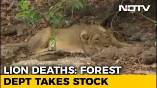Teams Formed For Lion Rescue In Gujarat After Carcasses Of Big Cats Found