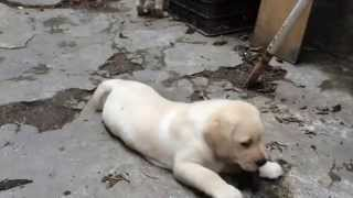 Labrador Puppies 48 Days In Labrador HaNoi