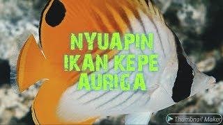 Hand Feeding Kepe Auriga / Auriga Buterflyfish