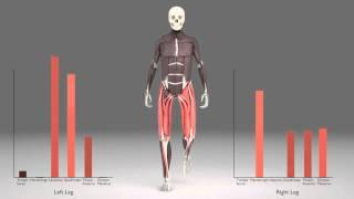 Leg Muscles During Walking