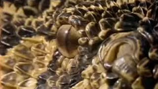 Puff Adder ambush - Serpent - BBC Animals