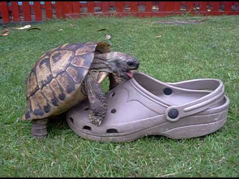 Tortoise having sex with a shoe squeaking.
