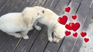 Super Cooper Sunday #3 - Coop Has a Girlfriend! (Golden Retriever Puppy)