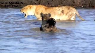 15 Hyena vs LION   Hyena attack  lion with a brutal    Whether a lion can survive   1