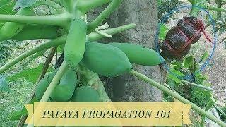 Papaya Propagation 101
