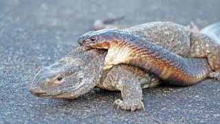 Cobra Snake Tries to Hunt Monitor Lizard