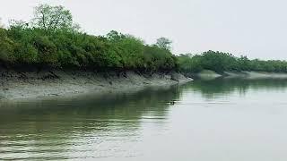Territorial fight between two tigress in Sundarbans