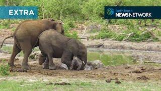 Elephants struggle to save clumsy calf