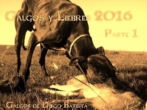 Galgos y liebres 2016 parte 1