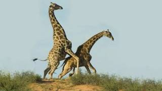 Giraffe Sex: A Terrifying Introduction to Nature at Work (and Play)