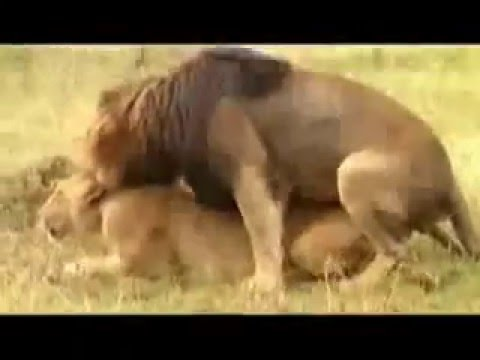 Xxx Mp4 DOCUMENTARY OF SRI LANKAN SINHALA WHICH THINKS IT CAME FROM ANIMAL LION Flv 3gp Sex