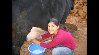 Village How To Get my Sister Milking Cow Live Video