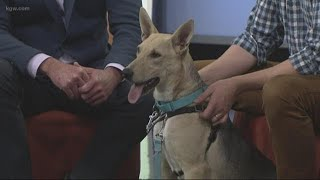 Happy Howli-days: Meet Jax, a Shepherd up for adoption