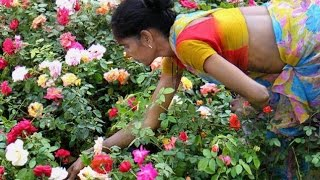 Techniques in Rose Farming   Paadi Pantalu