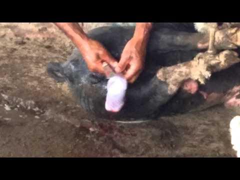 Castração de porco