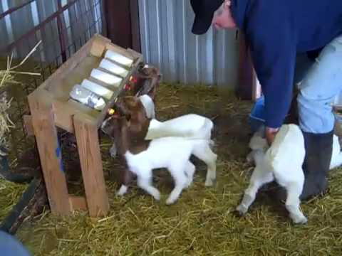 Bottle Feeding Group of young Boer goat kids