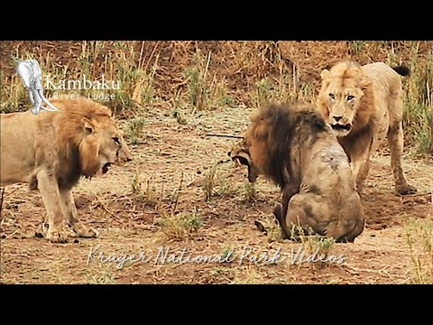 Final Fight of the Lion King in Epic Battle Full Movie Wildest Africa Epic Wildlife Videos